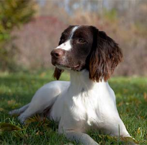 Puppies Springer Spaniels English