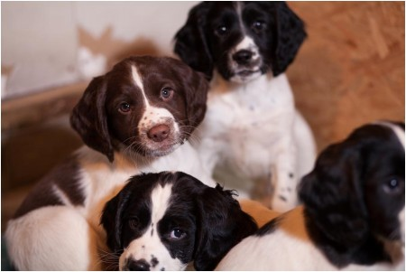 PrairieRose's Milan Lynch's Buccleuchs x Macks field bred english springer spaniel puppies.