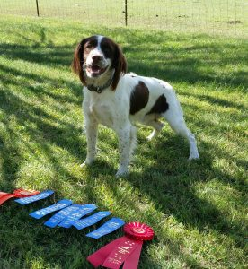 english springer spaniel field bred