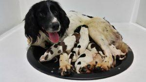 field bred english springer spaniel puppies for sale -Ella-Zeus puppies