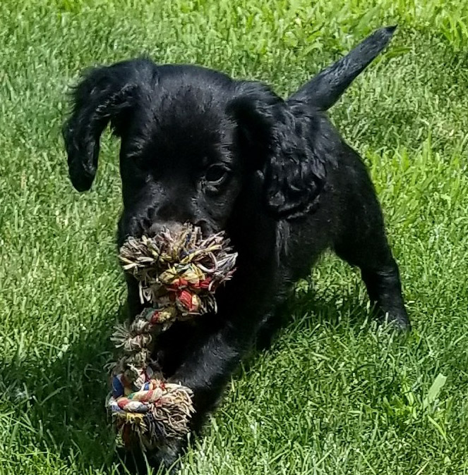 Puppies-Springer Spaniels & English Cocker Spaniels- Field Bred